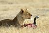 Cuernos para el desayuno (Nicolás Merino) Tags: leona leon tanzania ngorongoro crater safari africa canon 1d markiv f4 200400 canonistas wildlife natural