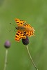 Comma (Polygonia c-album) (R.Miller1979) Tags: butterfly butterflies bokeh comma polygonia calbum insect nature wildlife meadow grassland green rotherham anston stones lepidoptera south yorkshire