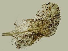 Evolution (peterpe1) Tags: blatt leaf evolution flickr peterpe1