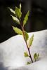 Nature's survivor (James Waghorn) Tags: kent thurnham tree tamronsp70300f456vcusd nikon winter d7100 snow bay england cold icy survivor leaf