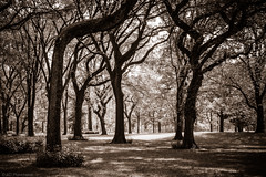 Centrally parked? (The Frustrated Photog (Anthony) ADPphotography) Tags: category centralpark flora newyork places travel usa canon550d canon1585mm canon park citypark manhattan grass trees shapes naturalform woods outdoor landscapephotography travelphotography leaves branches treecanopy monochrome mono tint dappledlight lightandshadow tree