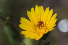 Miguillo 3 (R.D. Gallardo) Tags: miguillo bicho bug flower flor flores flowers yellow amarillo cucaracha escarabajo bettle canon eos 6d raw tamron 90 f28 macro macrofotografia macrofotografía