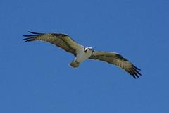osprey (ucumari photography) Tags: ucumariphotography sanibelisland fl florida island march 2018 osprey jndingdarling nationalwildliferefuge bird animal dsc2889 specanimal