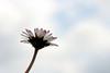 Daisy (gripspix (OFF)) Tags: 20180331 nature natur flower blume blüte blossom wildflower wildblume gänseblümchen daisy bellisperennis masliebchen macro makro nikkor nikkoranalogue1850mm vintage zwischenring extensiontube