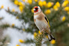 """The nest Builder"" (trevorwilson1607) Tags: goldfinch again nestbuilder fastidious committed ishouldbe goldfinchkidyeah notanotheroneyawn"