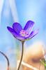 Open to sun (ErrorByPixel) Tags: pentaxart flower nature errorbypixel open smcpentaxdfamacro100mmf28wr smc pentaxd fa macro 100mm f28 wr bright pentax k5 pentaxk5