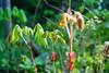 トチノキの幼樹