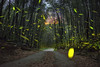 螢火蟲  firefly,Lampyridae (張麗芬) Tags: 台灣 鹿谷 小半天休閒農業區 竹林 螢火蟲 風景 夜色 夜曝