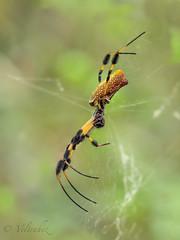 Nephila Clavipes. (veltrahez) Tags: miami florida unitedstates us ngc zuiko olympus em1 nature macro spider nephilaclavipes