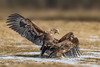 Sea Eagles (eric-d at gmx.net) Tags: ngc seaeagle adler eagle ericdgmxnet naturepicturede seeadler habichtartige eric adult jungtier juvenil