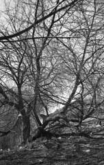 Tree (2478255) Tags: film rangefinder spring tree olympusxa epsonv600 rolleiretro400s d76