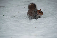 Squirrel (rellisphotography) Tags: squirrel wildlife animals animal outdoors nature park tree trees woodland garden woods forest snow winter ice sciuruscarolinensis greysquirrel