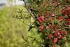 E' l'ora della cena (kiareimages1) Tags: cinciallegra mésange giardini garden flowers malussylvestris spring arbusteàfleurs uccelli birds oiseaux