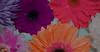 Closeup of colorful flowers floating on water background (rawpixel.com) Tags: africandaisy attractive background beautiful beauty bloom blossom botanical botany closeup collection colorful daisy decoration drop elegance floating flora floral flower flowery fresh gerbera gerberadaisy isolated macro name natural nature pattern petal plant romantic spring summer surface texture textured transvaaldaisy wallpaper water wet