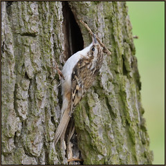 Tree Creeper (image 1 of 3) (Full Moon Images) Tags: rspb sandy lodge thelodge wildlife nature reserve bedfordshire bird nest building tree creeper