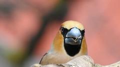 Hawfinch (Coccothraustes coccothraustes) 18.04.2018 (eerokiuru) Tags: hawfinch coccothraustescoccothraustes kernbeisser suurnokkvint bird backyardbirds birdvideo p900 nikoncoolpixp900