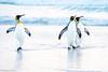 Morning walk (Nedko Nedkov) Tags: 2018 autumn falklandisland falklands fall king march pinguin bird birdphotography wildlife