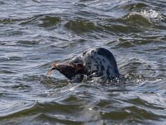 Gone fishing again (mikerobinson17) Tags: seal fishing fish sea seaside