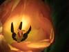Natures Lightbulb (kitwilliams91) Tags: tulip flower fauna sunlight stamen anther canon macro 100mm