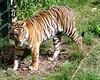 Sumatran tiger in Ebeltoft Safari Park (cats_in_blue) Tags: ebeltoftzoo reepark tiger pantheratigrissumatrae sumatrantiger