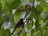 20180407-0I7A9657 (siddharthx) Tags: achampet bird birdwatching birdsofindia birdsoftelangana canon canon7dmkii closerange dawn dawnsunriseumamaheshwaram ef100400f4556isii goldenhour portraiture sunrise telangana umamaheshwaramtemple umamaheshwaram india in yellowthroatedbulbul bulbul tree leaf wood