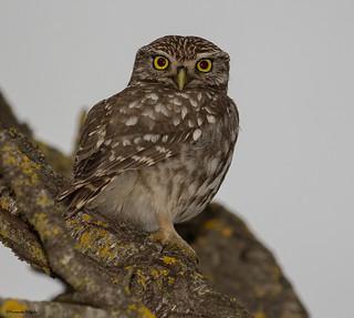 Mocho-galego (Athene noctua) | Little Owl | Steinkauz | Mochuelo Europeo  Chevêche d'Athéna | Civetta