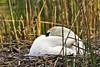 Schwan (Michael Döring) Tags: gelsenkirchen buer bergersee schwan swan cygnet afs200500mm56e d7200 michaeldöring