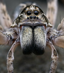 Wolf Spider - Lycosidae species (michael doe (Project Maratus)) Tags: canon canonmpe65mmf2815xmacrophoto canon1dxmarkii mpe65mmf28 macro wolfspider spider portrait nsw australia