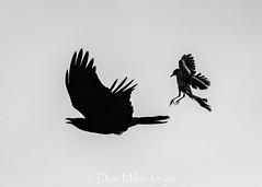 Aerial Battle (DonMiller_ToGo) Tags: silhouettes wildlife birdsinflight nature bird birds outdoors birdwatching bif d810 onawalk florida