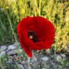 Red blooming poppy (nenos_79) Tags: iphonephotography blooming beautiful bulgaria plovdiv flora plant macrodreams macro nature redflower redbloomingpoppy redpoppy