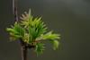 At the beginning of spring (nikjanssen) Tags: leaf green spring dof nature
