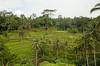 Tegalallang rice terrace (tanya.mesch) Tags: vacation bali indonesia asia november 2016 ocean beach surfing blue water sky monkeys nature riceterrace tegalallang ubud jungles
