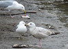 Herring Gull - First cycle (Kelly Preheim) Tags: gulls bird south dakota