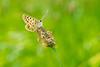 Balance (pepe.anacadabra) Tags: mft 60mm olympus green verde macrofotografía macro galicia acoruña arzúa mariposa butterfly