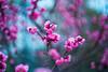 Toward the Sky (moaan) Tags: kobe hyogo japan jp ume umeblossom blossom blossoming inblossom fullblossom springtime march dof depthoffield bokeh bokehphotography leica leicaphotography leicamp type240 summicron50mmf20dr leicasummicron50mmf20dr utata 2018