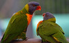 Feeding time_1939 (gtveloce) Tags: feedingtime lorikeets rainbow centralcoast nsw australia birds