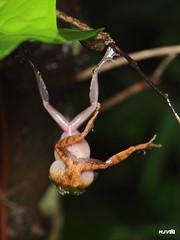 World Frog Day: Territorial Fight (harshithjv) Tags: macro frog amphibian anuran bush bushfrog waynadbushfrog pseudophilautus wynaadensis amphibia anura rhacophoridae canon 600d tamron 90mm