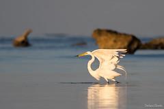 Élégance gracieuse / Graceful elegance (Stéfano) Tags: cuba playaacon grande aigrette egret grandeaigrette greategret ardeaalba