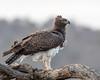 Martial Eagle (mayekarulhas) Tags: eagle martial bird avian wildlife wild krugerpark krugernationalpark africa southafrica safari canon