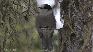 1.18578 Mésangeai du Canada / Perisoreus canadensis nigricapillus / Gray Jay