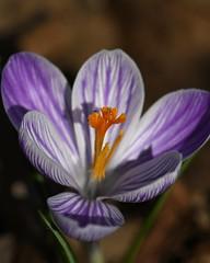 Dressed for Spring (KsCattails) Tags: crocus flower kscattails macro overlandparkarboretum spring