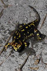 Estuário do Cávado (25)-2 (Paulo_Domingues) Tags: fão anfíbio salamandradepintasamarelassalamandrasalamandra
