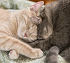 Two Cats Sleeping with Their Heads Touching (scattered1) Tags: cat hannah stuart affection animal cute ear face feline head kitten lie love nose paw pet rest sleep touch