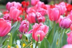 IMG_0918edited (sherri_lynn) Tags: pink tulips spring flowers garden gibbsgardens northgeorgia nature