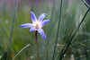 Natural Beauty (#2# 2018) (ej - light spectrum) Tags: flower blume spring frühling märz march 2018 olympus omd em5markii mzuiko makro macro switzerland schweiz dewdrops tautropfen morgen morning blue blau bokeh nature natur