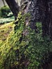 Moss (vwcampin) Tags: treebark bark iphoneology iphoneography iphoneographer iphonology forest woods garden california sanfrancisco goldengatepark japaneseteagarden green mosscovered treetrunk trunk tree moss