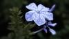 Flower in the Rain II (Elton Pelser) Tags: flower nature floral waterdroplets lavender 169 macro nikoncoolpix