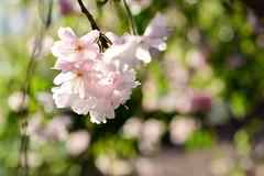 Cherry blossoms (TzuChien (Jeffrey) Chou) Tags: flowers nikon d610 bokeh taiwan cherry blossoms