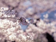 Final Sakura Photo 2018 (RunnyInHongKong) Tags: mamiya645protl mediumformat nikoncoolscan9000 akasaka sakura nikonscan41 mamiyasekor200mmf28 minatoku kodakektar100 japantokyo film 6x45