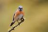 Western Bluebird, Sialia mexicana (jlcummins - Washington State) Tags: westernbluebird bethelridge yakimacounty washingtonstate bird fantasticnature sialiamexicana